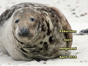 Robbe in Helgoland